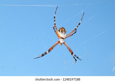 Silver-backed argiope (Argiope florida) hangs on a web in central Florida