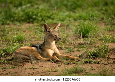 Silver-backed jackal lies squinting on muddy grassland