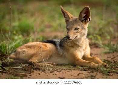 Silver-backed jackal lying on grassland in sunshine