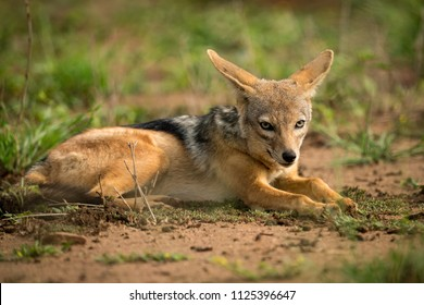 Silver-backed jackal lying in patch of grass