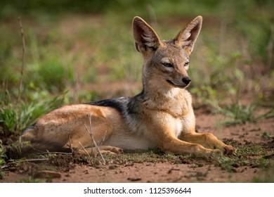 Silver-backed jackal lying in sunshine on grassland