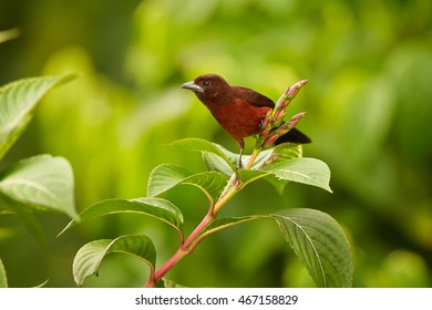 Silver-beaked Tanager, Ramphocelus carbo, south american songbird, reddish colored passerine, perched on top of the twig against green, wet leaves of ecuadorian rainforest. Ecuador, Wild Sumaco.