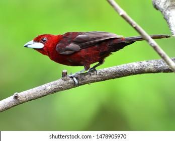 Silver-beaked Tanager showing velvet colors and silver beak, Trinidad West Indies