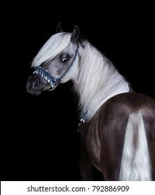 Silver-black American Shetland Pony. Vertical portrait on black background.