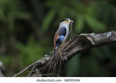 Silver-breasted Broadbill building nest birds of thailand