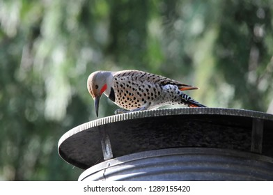 Silverdale, Washington / USA - March 5, 2015: A northern flicker tapping on a chimney cap in Silverdale, Washington.