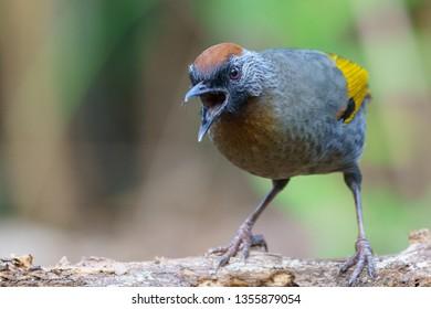 Silver-eared Laughingthrush (Trochalopteron melanostigma). Babbler, bird. Calling, singing. Doi Lang, Chiang Mai, Thailand.