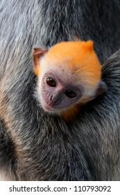 Silvered leaf monkey baby