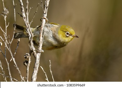 The silvereye or wax-eye (Zosterops lateralis) is a very small omnivorous passerine bird of the south-west pacific. In Australia and New Zealand its common name is sometimes white-eye, but this name i