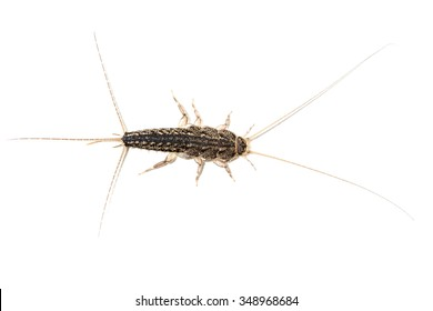 A silverfish, Lepisma saccharina, isolated on white background. This common small insect can cause several damages to paper, book bindings, carpet, clothing, photos, adhesives, glue, tapestries.