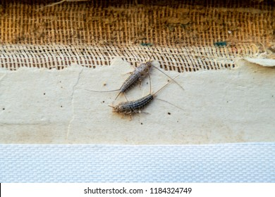silverfish thermobia near the binding of an old book. Insect feeding on paper - silverfish, lepisma. Pest books and newspapers.