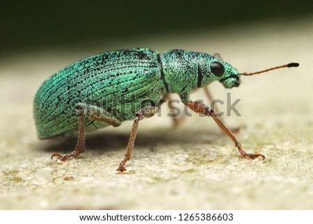 silvergreen-leaf-weevil-phyllobius-argen