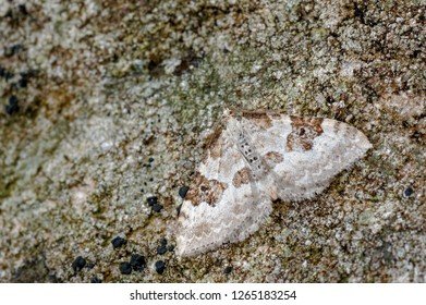 Silver-ground Carpet Xanthorhoe montanata, a geometrid moth sometimes referred to as geometer moths due to the apparent habit of the larvae (loopers) to inch along in a looping movement.