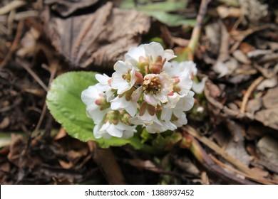 Silverlight Bergenia specimen sample growing in Ontario Canada