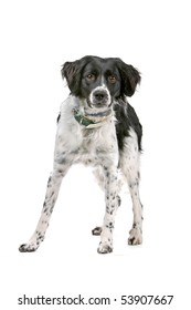 Silverone stabyhoun dog isolated on a white background