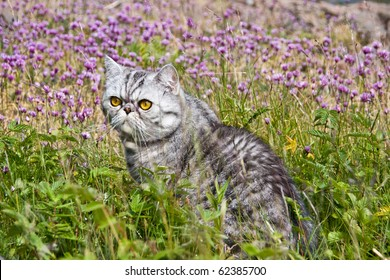 Silverspotted Exotic Shorthair cat sitting on grass