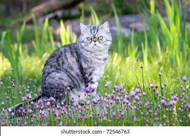 Silverspotted Exotic Shorthair cat sitting among blooming wild chives