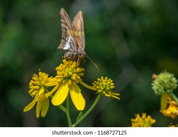 The silver-spotted skipper, is a butterfly of the family Hesperiidae. It is claimed to be the most recognized skipper in North America.