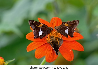 Silver-spotted skippers feeding on Tithonia flower. Epargyreus clarus, the silver-spotted skipper, is a butterfly of the family Hesperiidae.