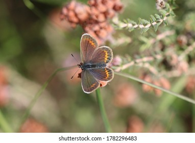 Silver-studded blue in the bog