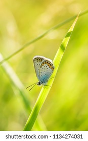 Silver-studded Blue butterfly - Plebejus argus, beautiful colored buttefly from European meadows and grasslands.