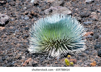 Silversward is one of the few plants that grow on the rocky top of the Haleakala volcano crater.