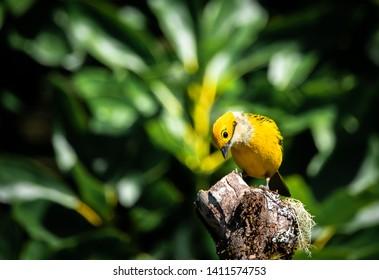 silver-throated tanager (Tangara icterocephala) at San Gerardo de Dota, Costa Rica.