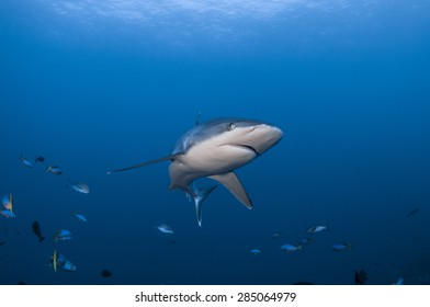 Silvertip Shark with fish on Blue Ocean Background