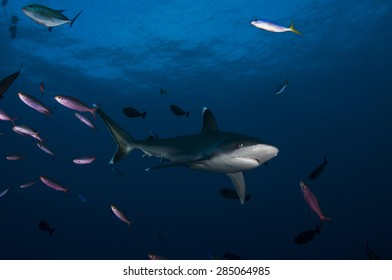 Silvertip Shark and Purple Fish