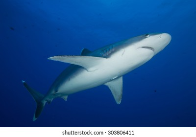 SILVERTIP SHARK SWIMMING ON THE BLUE