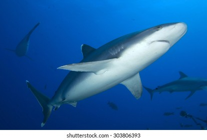 SILVERTIP SHARK SWIMMING ON THE CLEAR BLUE WATER