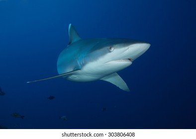 SILVERTIP SHARK SWIMMING IN TH CLEAR BLUE WATER