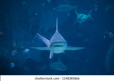 A silvertip shark swimming toward camera in aquarium in Sentosa, Singapore