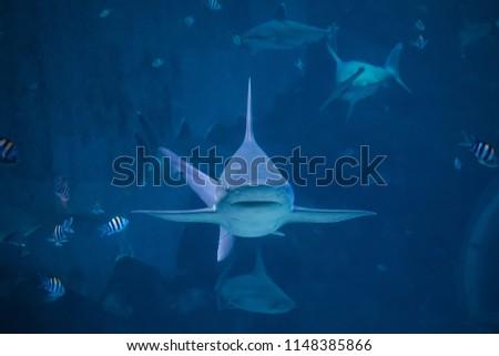 Silvertip Shark Swimming Toward Camera Aquarium Stock Photo Edit