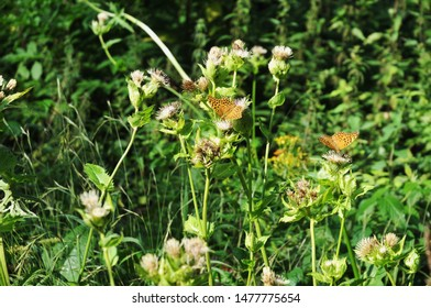 silver-washed fritillaries, argynnis paphia, seeking for nectar on thistle flowers in forest clearing