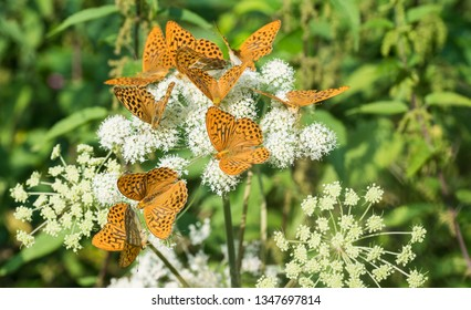 Silver-washed fritillaries group. Argynnis paphia. Ground elder flower. Aaegopodium podagraria. Flock of feeding orange butterflies. Ornate black spotted open wings. White bloom. Natural green herbs.