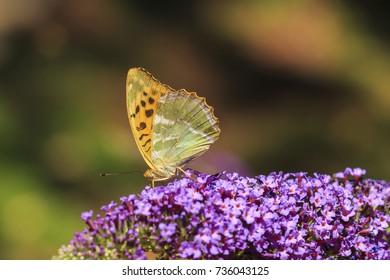 Silver-washed fritillary (Argynnis paphia) butterfly feeding nectar and pollinating on a purple butterfly bush Buddleja davidii