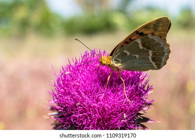 A  silver-washed fritillary (argynnis paphia) eats from a plumeless thisltle in summer