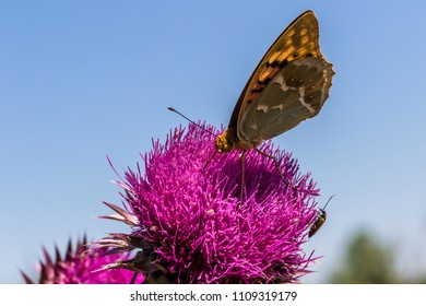A  silver-washed fritillary (argynnis paphia) eats from a plumeless thisltle in summer and in background blue sky.