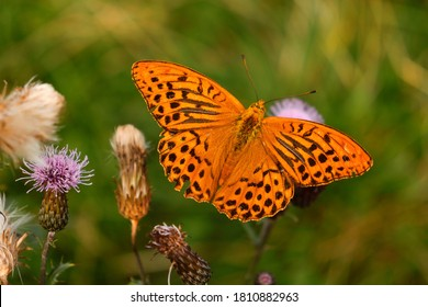 Silver-washed Fritillary - latin name Argynnis Paphia, male, colourful Eurasian butterfly. Orange butterfly with black spots and streaks on its forewings.