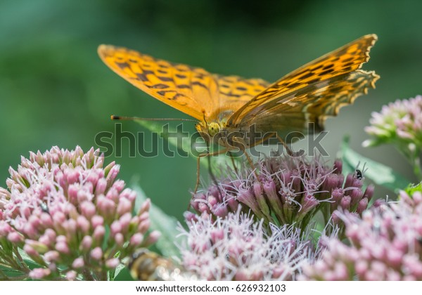 silver-washed fritillary on plant