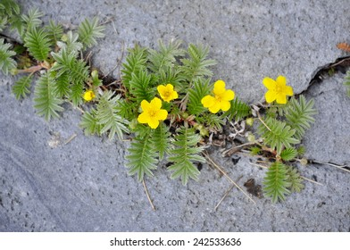 Silverweed Potentilla anserina growing in a crack in a stone