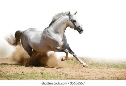 silver-white stallion in dust on white