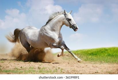 silver-white stallion galloping on field