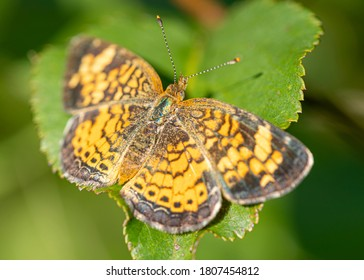 A silvery checkerspot butterfly resting on a leaf in the summer sunshine.