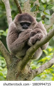 The silvery gibbon (Hylobates moloch). Adult primate sleeping on the branches of a tree. Middle size monkey with long tail, full silver color, black face. Indonesia. Java.
