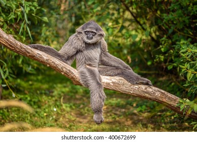 Silvery gibbon (Hylobates moloch) sitting on a branch. The silvery gibbon ranks among the most threatened species.