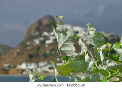 Silvery leaves of a plane tree in front of the island of Skyros