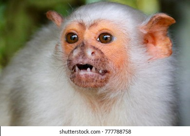 silvery marmoset bares teeth