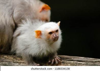 A silvery marmoset sits on a tree branch